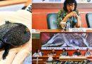Ratusan Kura-kura Moncong Babi Selundupan Dipulangkan ke Indonesia
