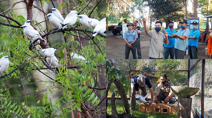 Populasi Burung Curik Bali Meningkat Signifikan
