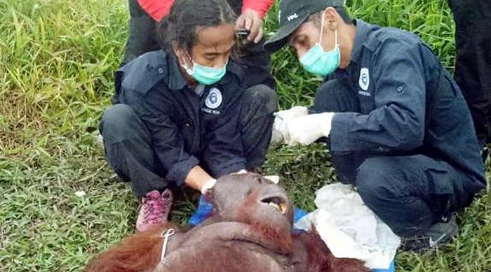 Respon Laporan di Medsos, BKSDA Kalteng Selamatkan Orangutan Terluka